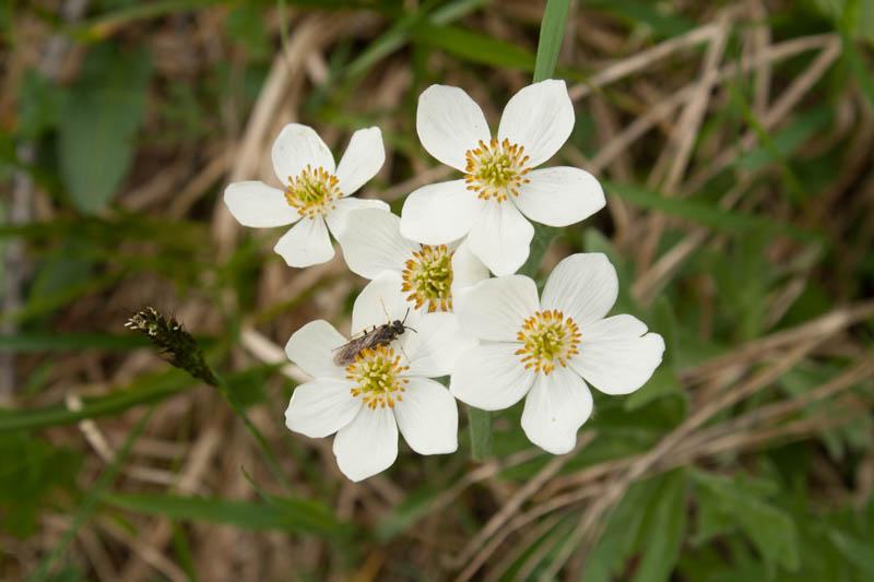 Anemone (Sibirica?)