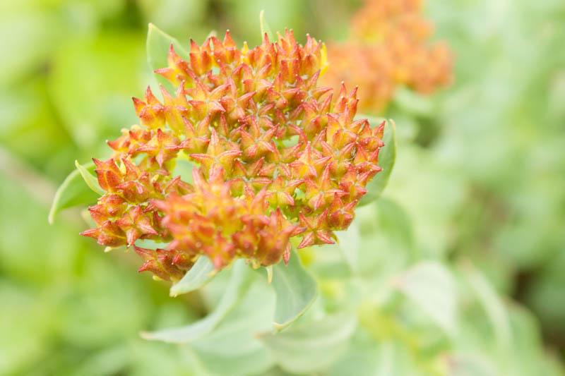 altai-rosenwurz (rhodiola rosea?)
