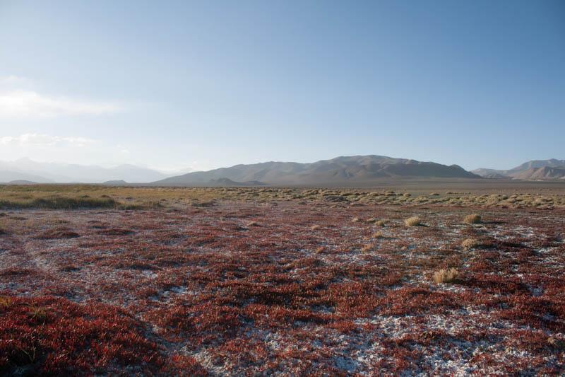 Salzliebende Pflanze am Karakul