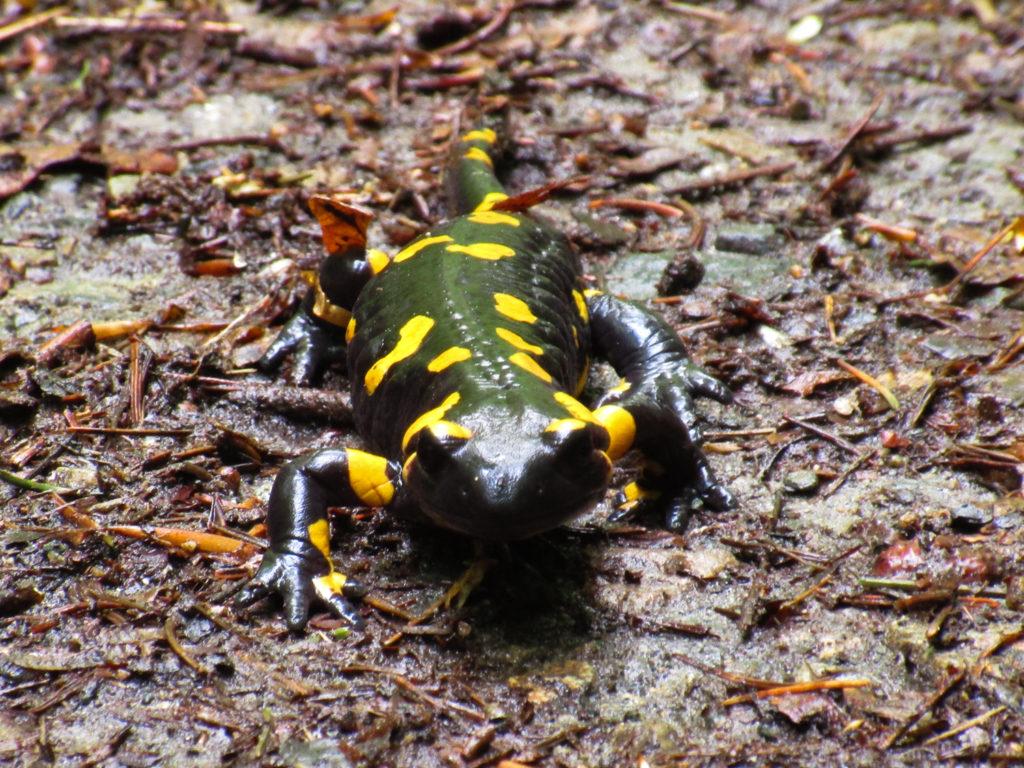 Kein Olm, sondern ein Salamander